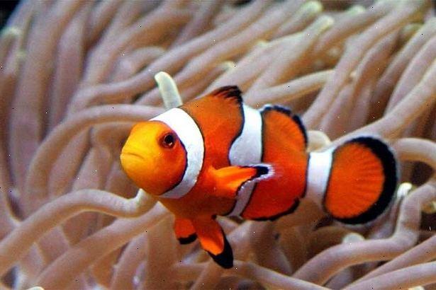 Hoe om te zorgen voor een clownvis. Meer weten over de clownvissen.